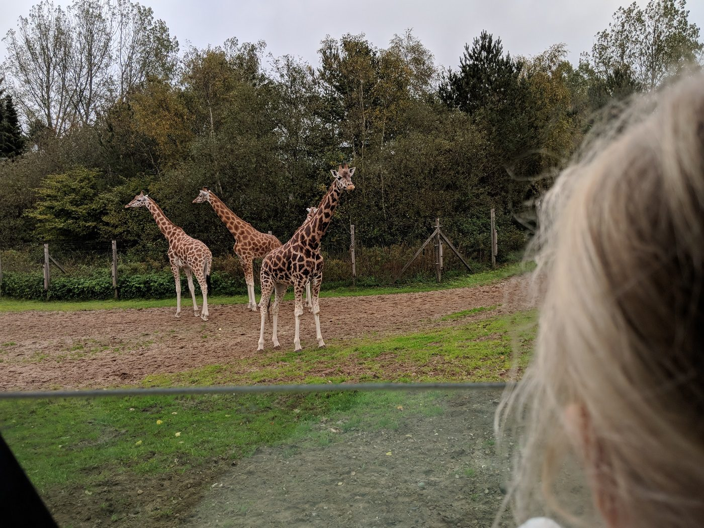Givskud Zoo Giraffe