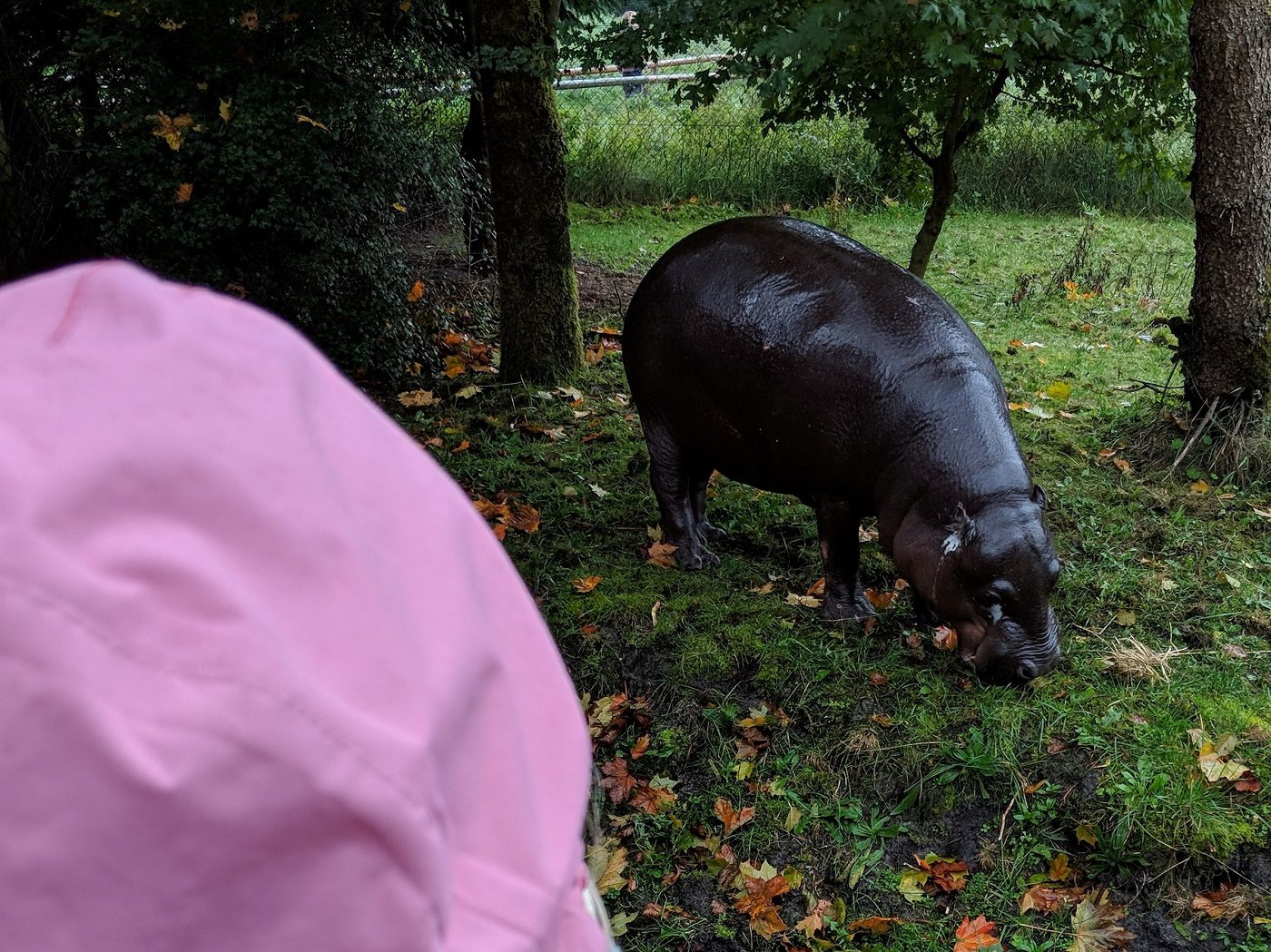 Givskud Zoo Nilpferd