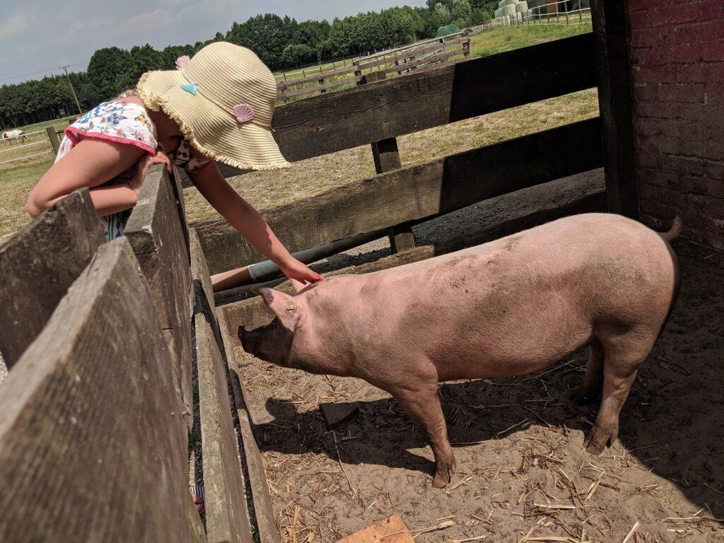 Familotel Gut Landegge Schweine