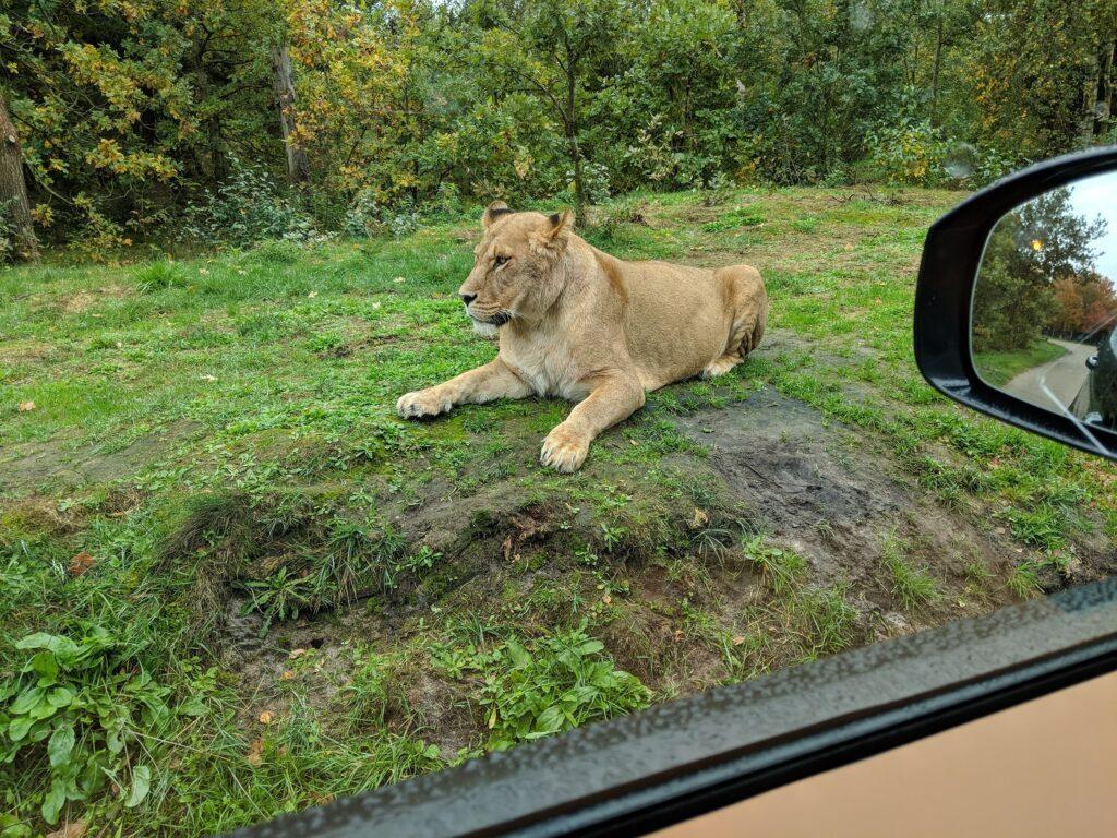 Givskud Zoo Löwe