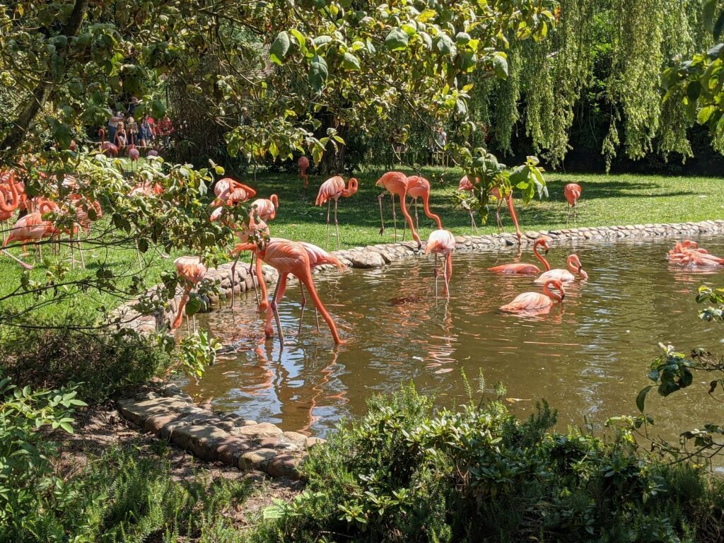 Vogelpark Walsrode Flamingos