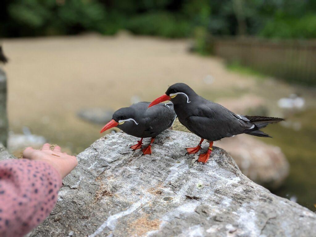 vogelpark walsrode inkaseeschwalben