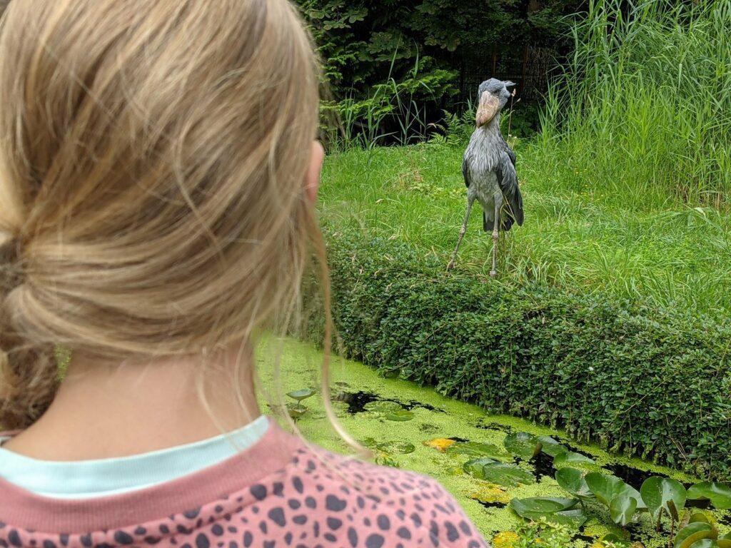 vogelpark walsrode schuhschnabel