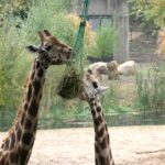BurgersZoo Giraffen