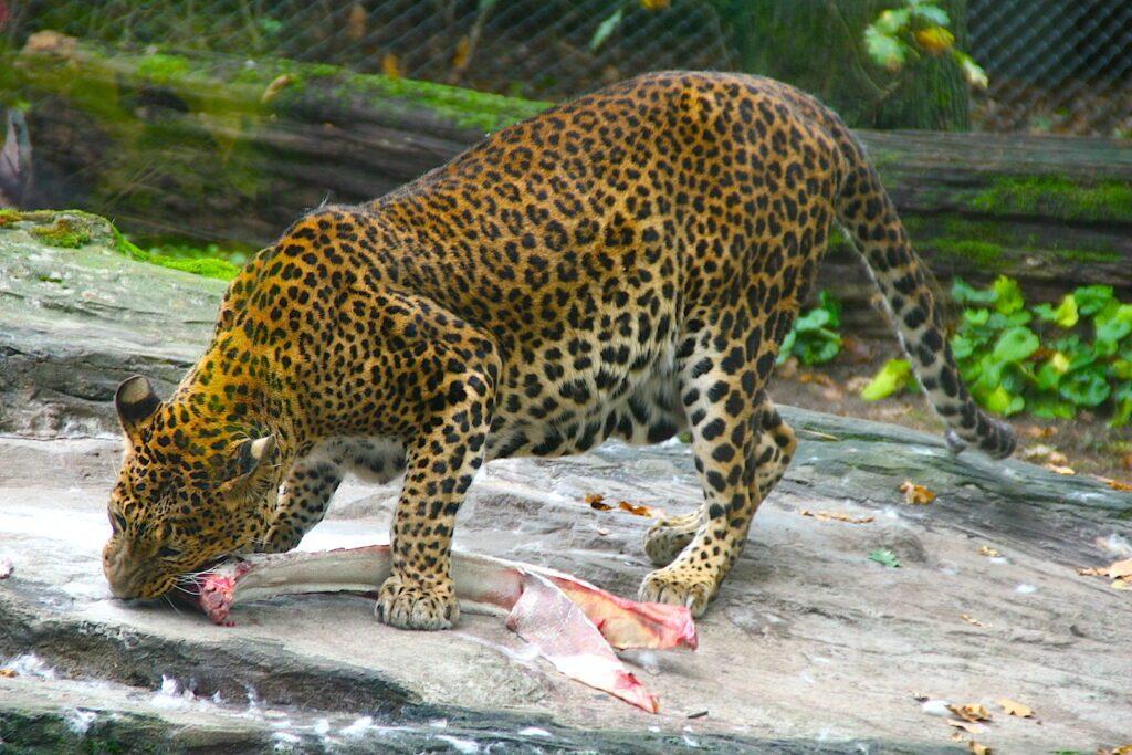 BurgersZoo Leopard
