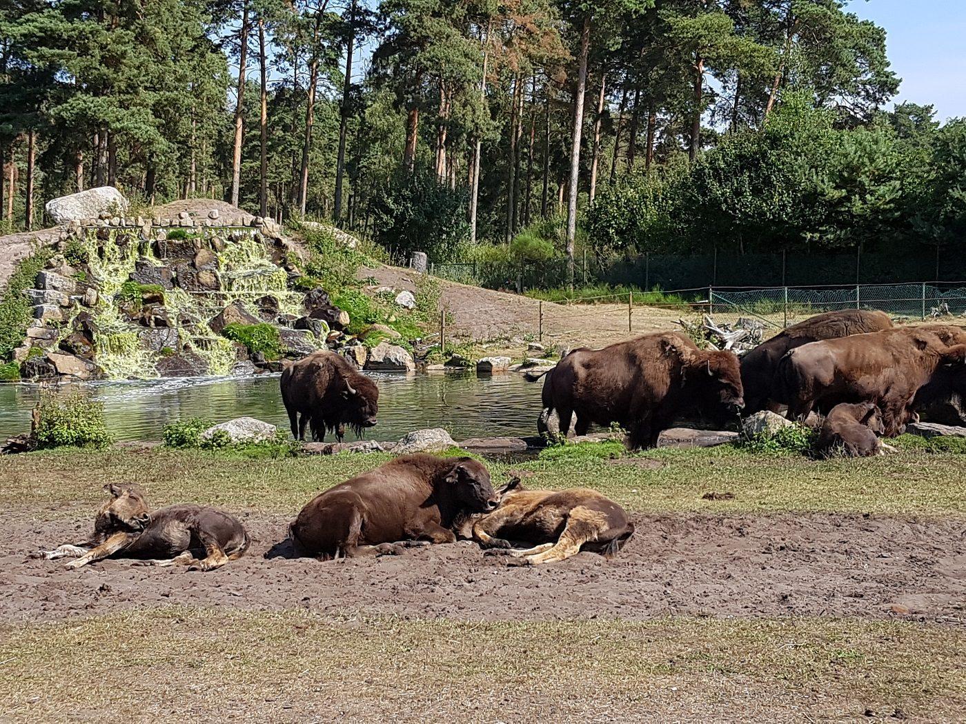 Serengeti Park Hodenhagen Bison