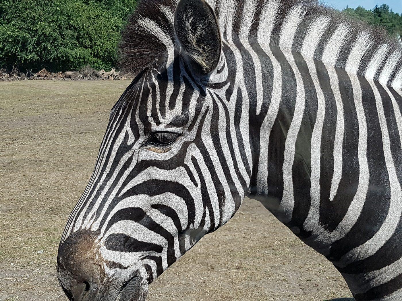 Serengeti-Park Hodenhagen Zebra